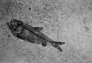 Close up of Knightia, a 48 million year old extinct fish.