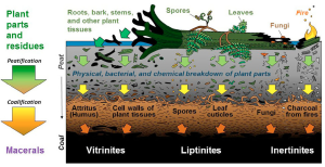 Plants, to peat, to coal. Figure 5 in Dai et al., 2020 (from a Steve Greb drawing)
